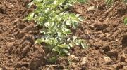 Krompir dobro podnosi temperaturne oscilacije /VIDEO/