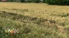 Došlo do polijeganja strnih žita na njivama, kukuruz u dobroj kondiciji /VIDEO/