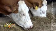 Bijeljinac prodaje kravu uvezenu iz Njemačke sa urednim papirima