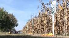Dobar rod kukuruza  na imanju Jovića u Donjoj Trnovi /VIDEO/