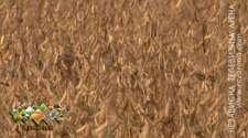 Semberci žanju više od četiri tone soje po hektaru /VIDEO/