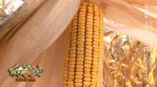 Nadprosječan rod kukuruza i kvalitet zrna na zavidnom nivou /VIDEO/