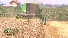 Semberski ratari nezadovoljni otkupnom cijenom i prinosom pšenice
