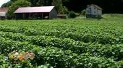 Lopare: Voćarska proizvodnja u ekspanziji, sve više jagode i u plastenicima /VIDEO/