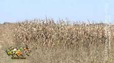 Nezavidna cijena kukuruza umanjila dobar proizvodni rezultat /VIDEO/