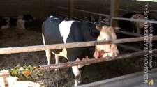 Stočari čekaju zaštitu proizvodnje, prerasli bikovi teret na farmama /VIDEO/