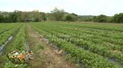 Nestabilne vremenske prilike umanjile rod voća u Koraju /VIDEO/