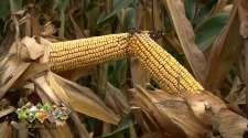 Šteta na usjevima kukuruza i do 50 odsto